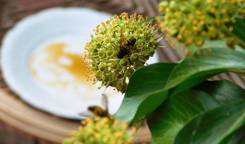 Pułapka na owady i bluszcz wabiący owady
